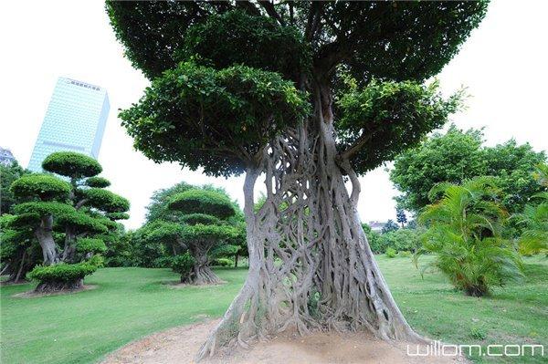 """广西现奇葩大树!树干""""织成网""""如神造"""